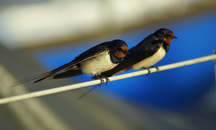 Barn swallows are one of the species calling the Munitions Experimentation Test Centre home. Photo: Andrea Linja, Pixabay